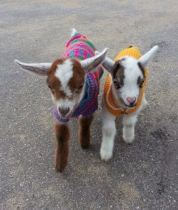 Goats in jumper petwear