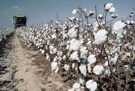 cotton plant harvest